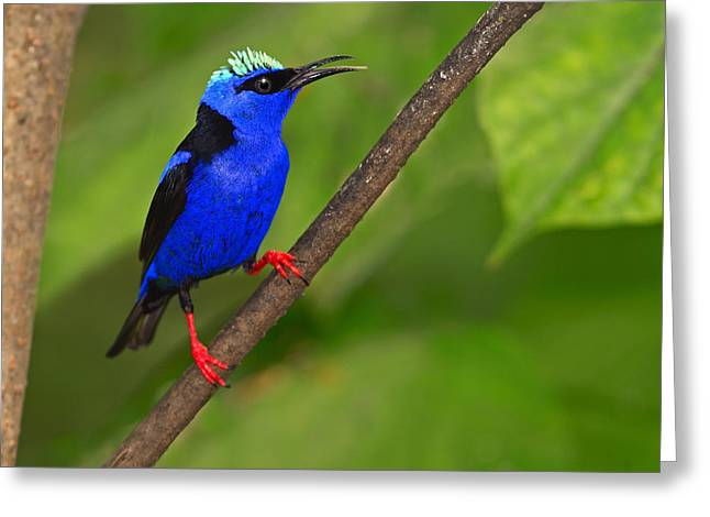 Red-legged Honeycreeper Greeting Card by Tony Beck