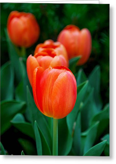 Red Tulips Greeting Card by Az Jackson