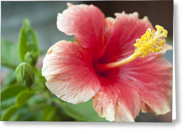 Red Lillie Flower Close Up 2 Greeting Card