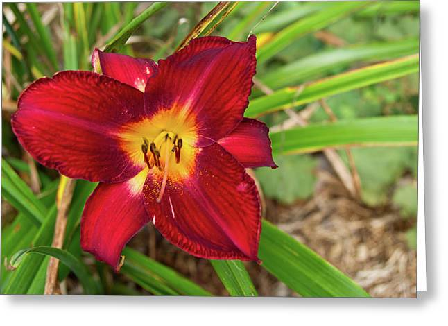 Revelry Greeting Cards - Red Lily 1 Greeting Card by Douglas Barnett