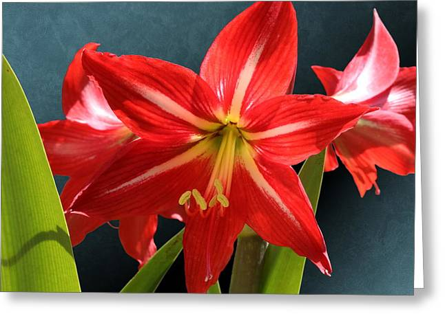 Red Lily Flower Trio Greeting Card