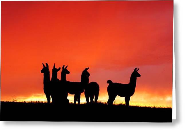 Red Llama Sunset 1 Greeting Card