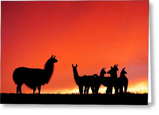 Red Llama Sunset 2 Greeting Card