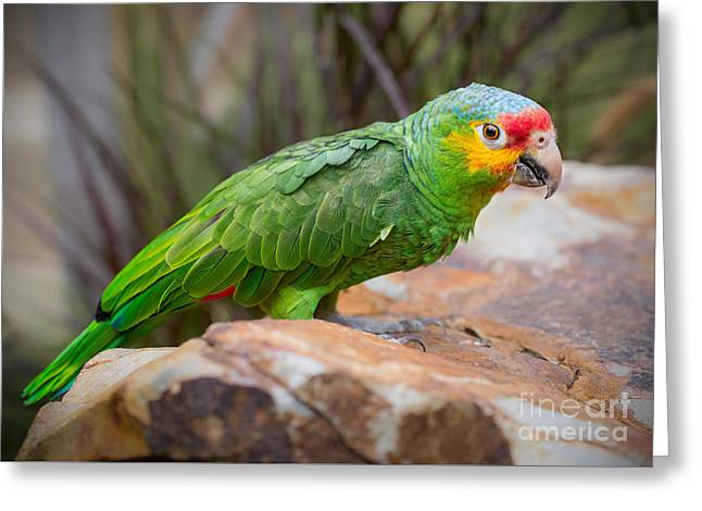 Red Lored Amazon Parrot Greeting Card by Jamie Pham