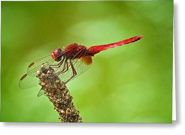 Red Male Dragonfly Crocothemis Erythraea Perching Greeting Card by Igor Voljch