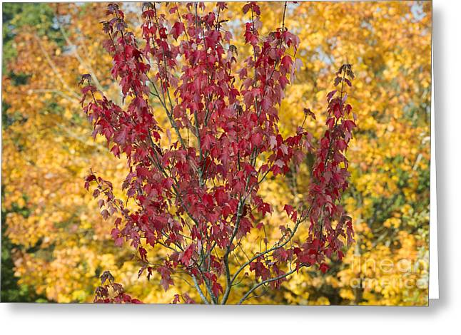 Red Maple Autumn  Greeting Card by Tim Gainey