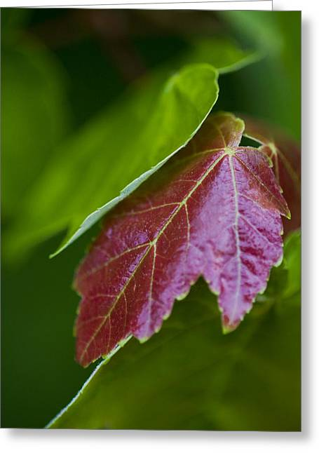 Red Maple Leaf Greeting Card