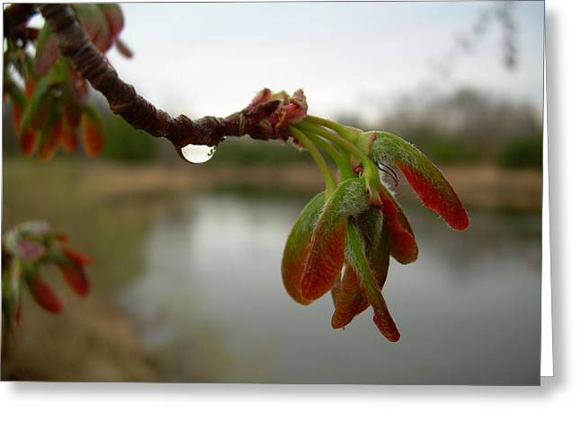 Red Maple Seed Pods At Dawn Greeting Card