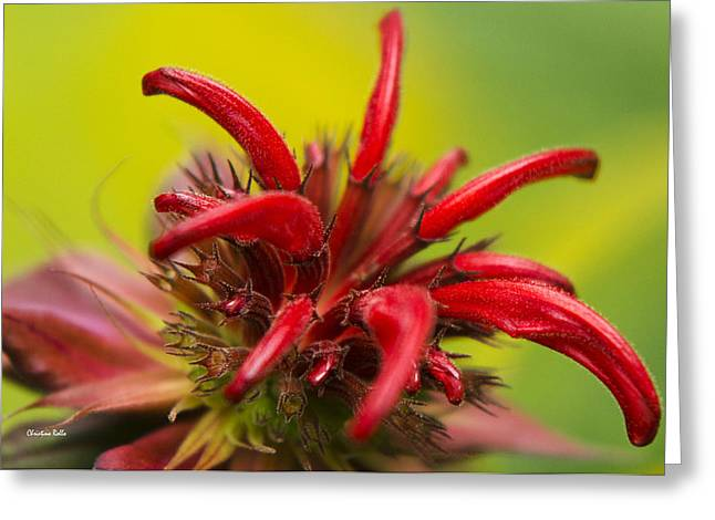 Red Monarda Flowers - Bee Balm Greeting Card by Christina Rollo