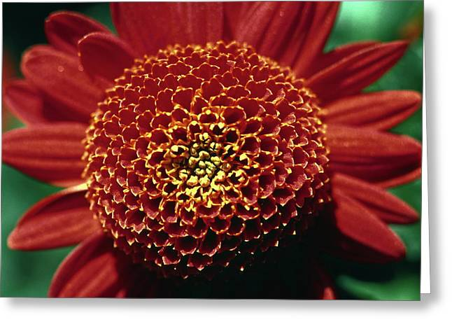 Greeting Card featuring the photograph Red Mum Center by Sally Weigand