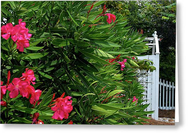 Greeting Card featuring the photograph Red Oleander Arbor by Marie Hicks