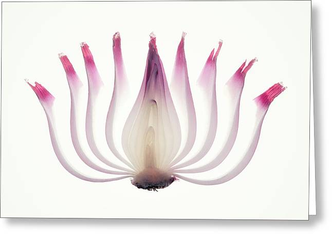 Red Onion Translucent Peeled Layers Greeting Card