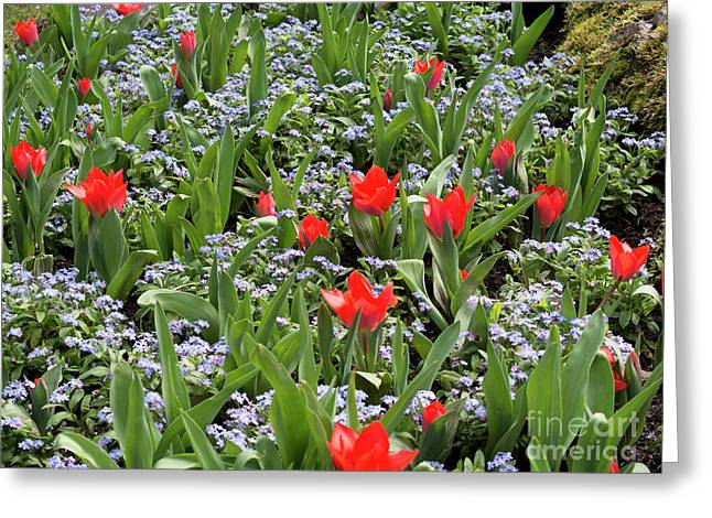 Red Orange Tulips And Blue Forget Me Nots In Spring Greeting Card by Louise Heusinkveld