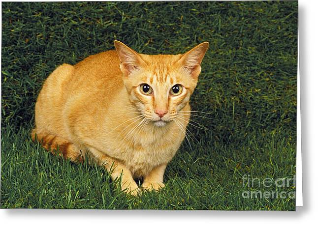 Red Oriental Cat Laying On Grass Greeting Card