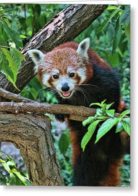 Red Panda # 2 Greeting Card