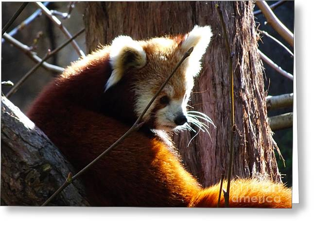 Greeting Card featuring the photograph Red Panda by Angela DeFrias