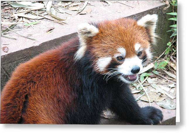 Red Panda Greeting Card by Carla Parris