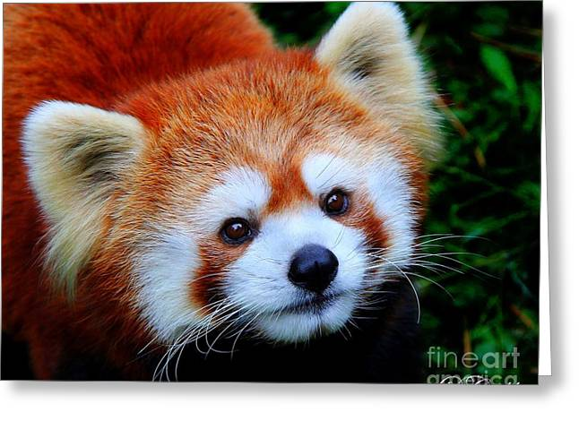 Red Panda Greeting Card by Davandra Cribbie