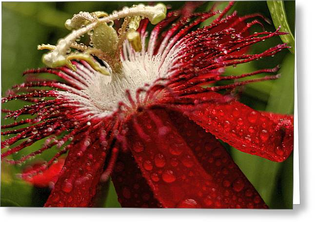 Red Passion Flower With Rain Drops Greeting Card by Geraldine Scull