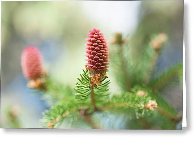 Red Pine Cone In Spring Time Greeting Card