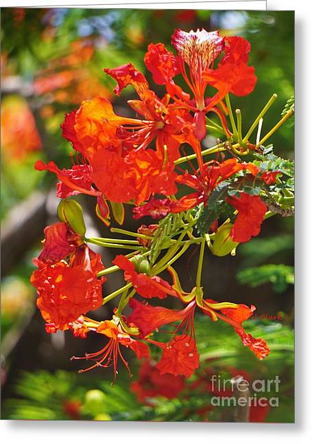 Red Poinciana  Greeting Card