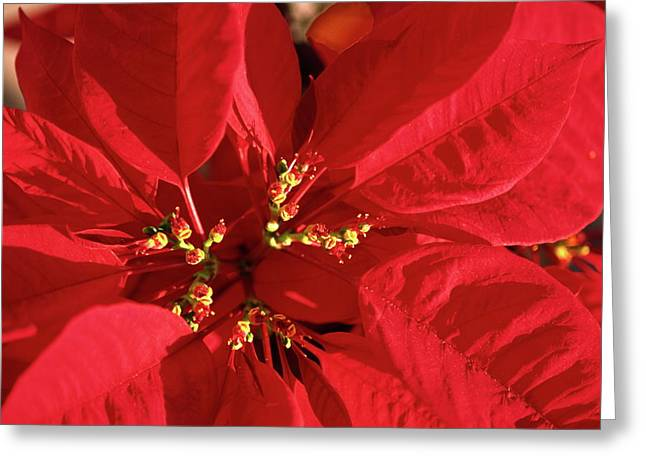 Greeting Card featuring the photograph Red Poinsettia Macro by Sally Weigand