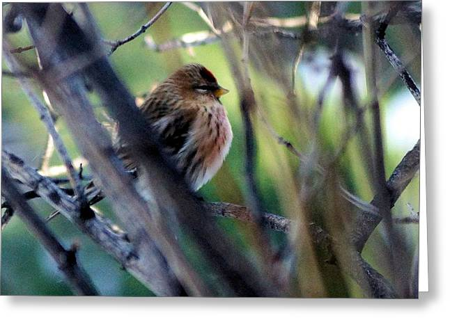 Red Poll, Resting Greeting Card