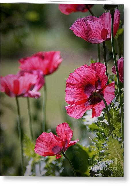 Red Poppies Greeting Card by Lisa L Silva