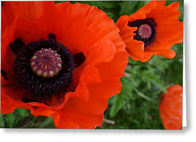 Red Poppies Greeting Card by Lynne Guimond Sabean