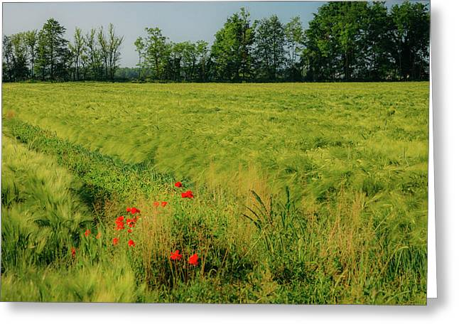 Red Poppies On A Green Wheat Field Greeting Card
