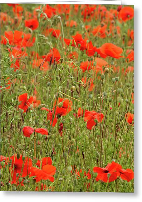 Red Poppies Greeting Card by Wayne Molyneux