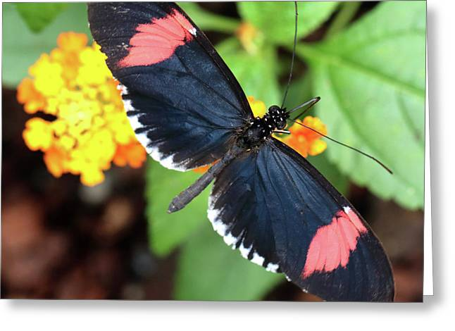 Red Postman Butterfly Feeding Greeting Card