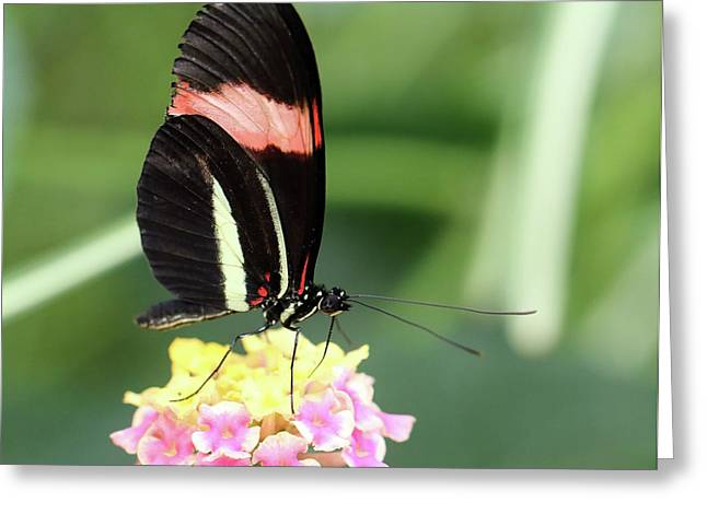 Red Postman Butterfly Heliconius Erato Cyrbia Greeting Card
