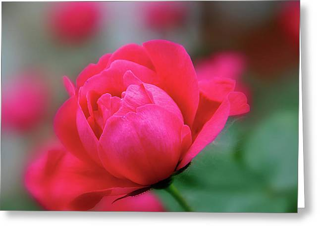 Red Red Rose Greeting Card by Sheryl Thomas