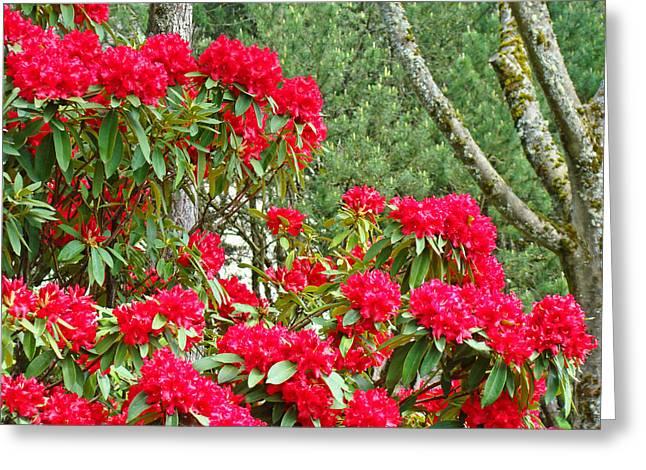 Red Rhododendron Garden Art Prints Rhodies Landscape Baslee Troutman Greeting Card by Baslee Troutman