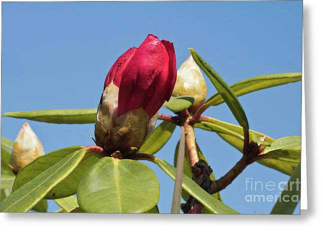 Red Rhododendron Greeting Card