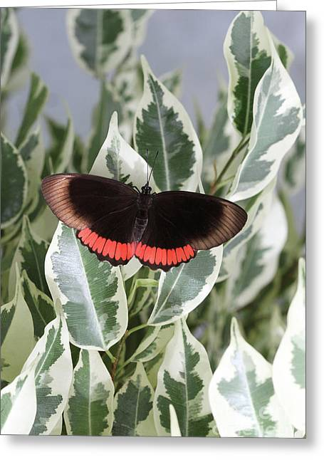 Red Rim Butterfly Greeting Card