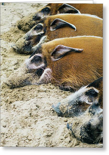 Red River Hog Sleeping Row Greeting Card