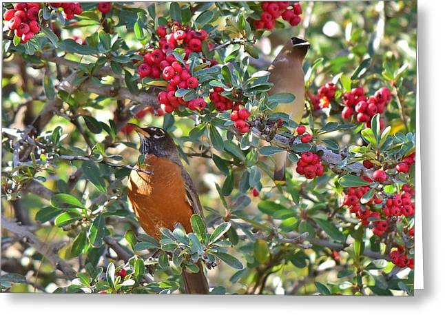 Red Robin And Cedar Waxwing 1 Greeting Card by Linda Brody
