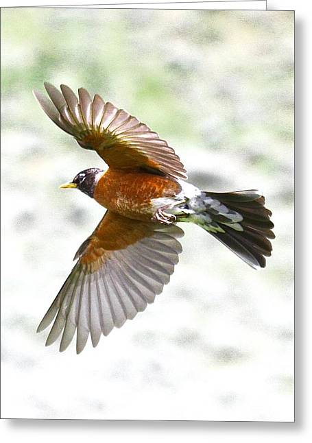 Red Robin In Flight Greeting Card by Amy G Taylor