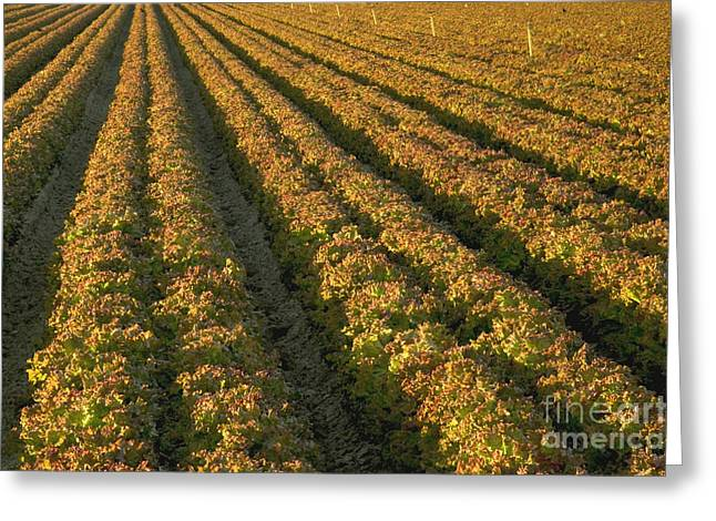 Red Romaine Lettuce Field Greeting Card by Inga Spence