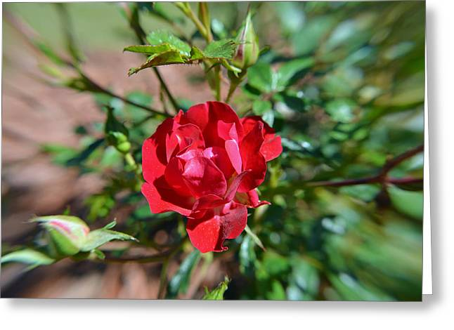 Red Rose And Buds 2 Greeting Card by Aimee L Maher Photography and Art Visit ALMGallerydotcom