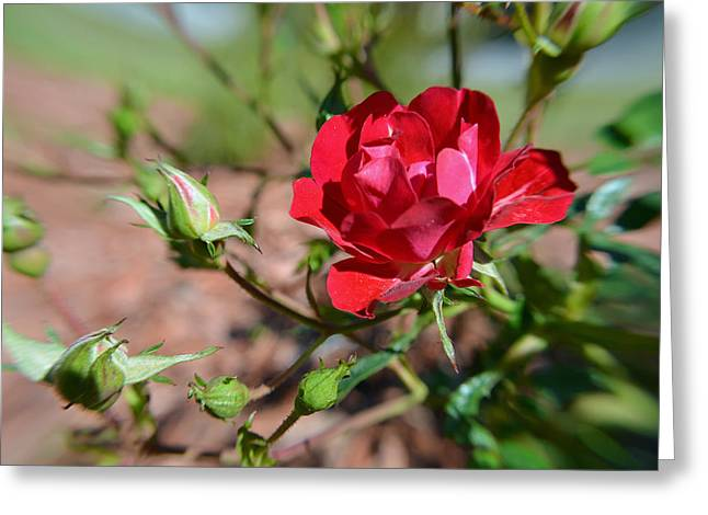 Red Rose And Buds Greeting Card by Aimee L Maher Photography and Art Visit ALMGallerydotcom