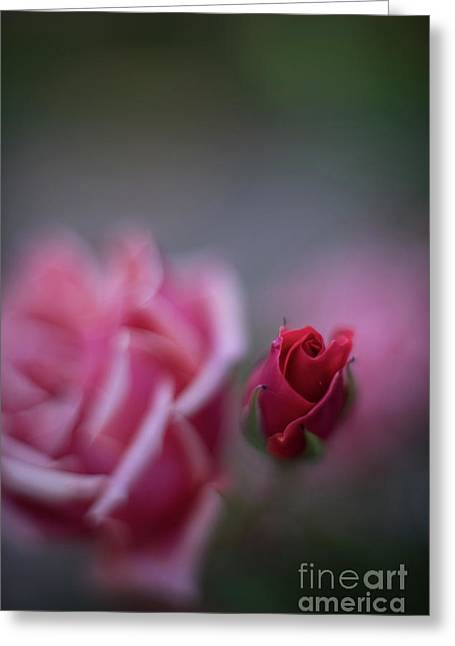 Red Rose Blossom Focus Greeting Card by Mike Reid