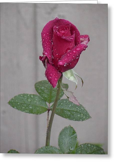 Red Rose In Rain Greeting Card by Shirley Heyn