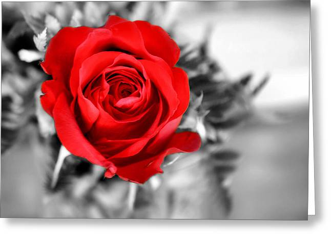 Red Rose Greeting Card by Karen Scovill