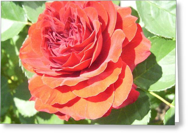 Red Rose Greeting Card by Lisa Roy