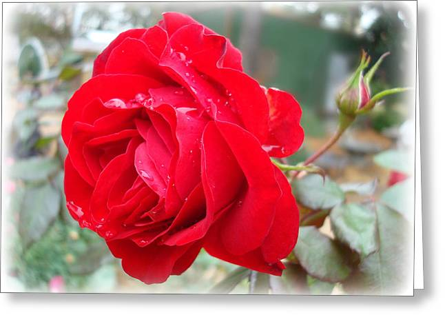 Red Rose  Red Rose Greeting Card by Kathy Bucari