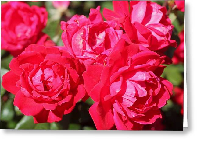 Red Roses 1 Greeting Card