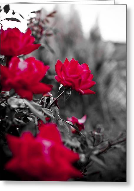 Red Roses Greeting Card by Dustin K Ryan